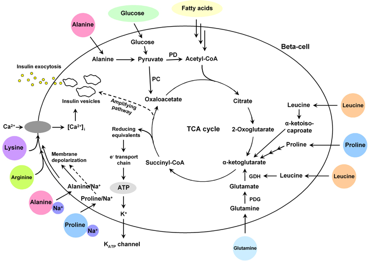 Dose And Glucose Dependent Effects Of Amino Acids On Insulin